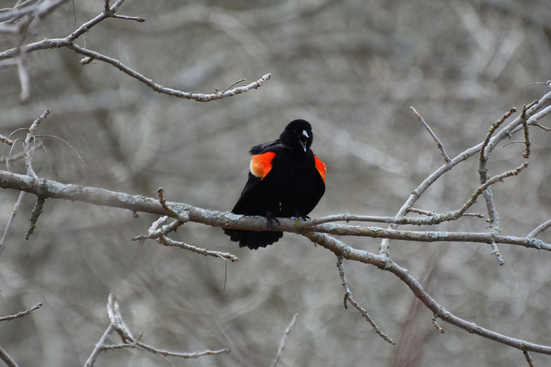 red-winged blackbird dive bombing