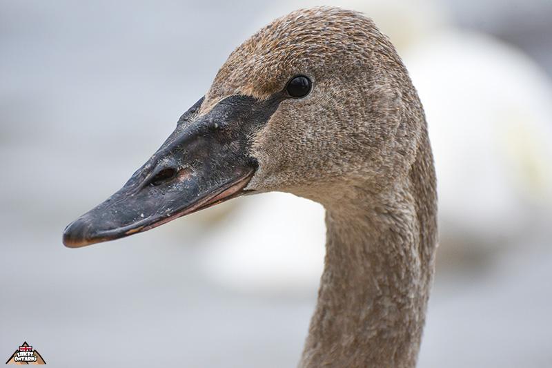 Juvenile Trumpeter Swan